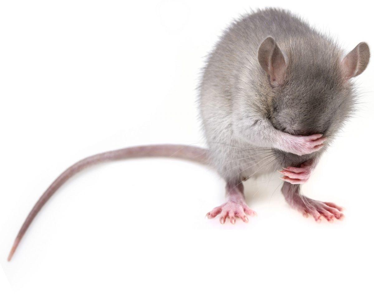 Patkány a házban? Patkányirtás a megoldás